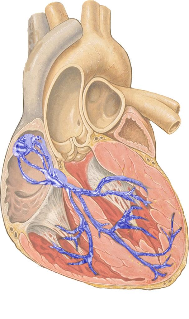 Den elektriske bane for hjertets impuls, startende øverst til venstre ved sinus-knuden