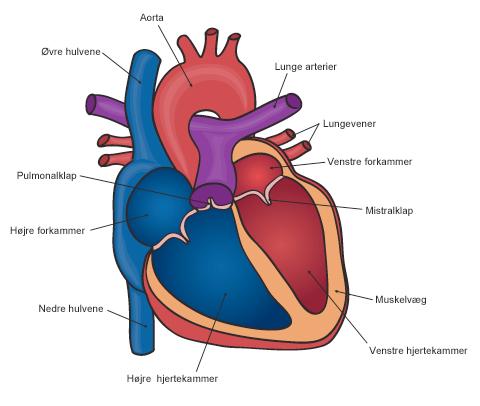 hjerte-anatomi