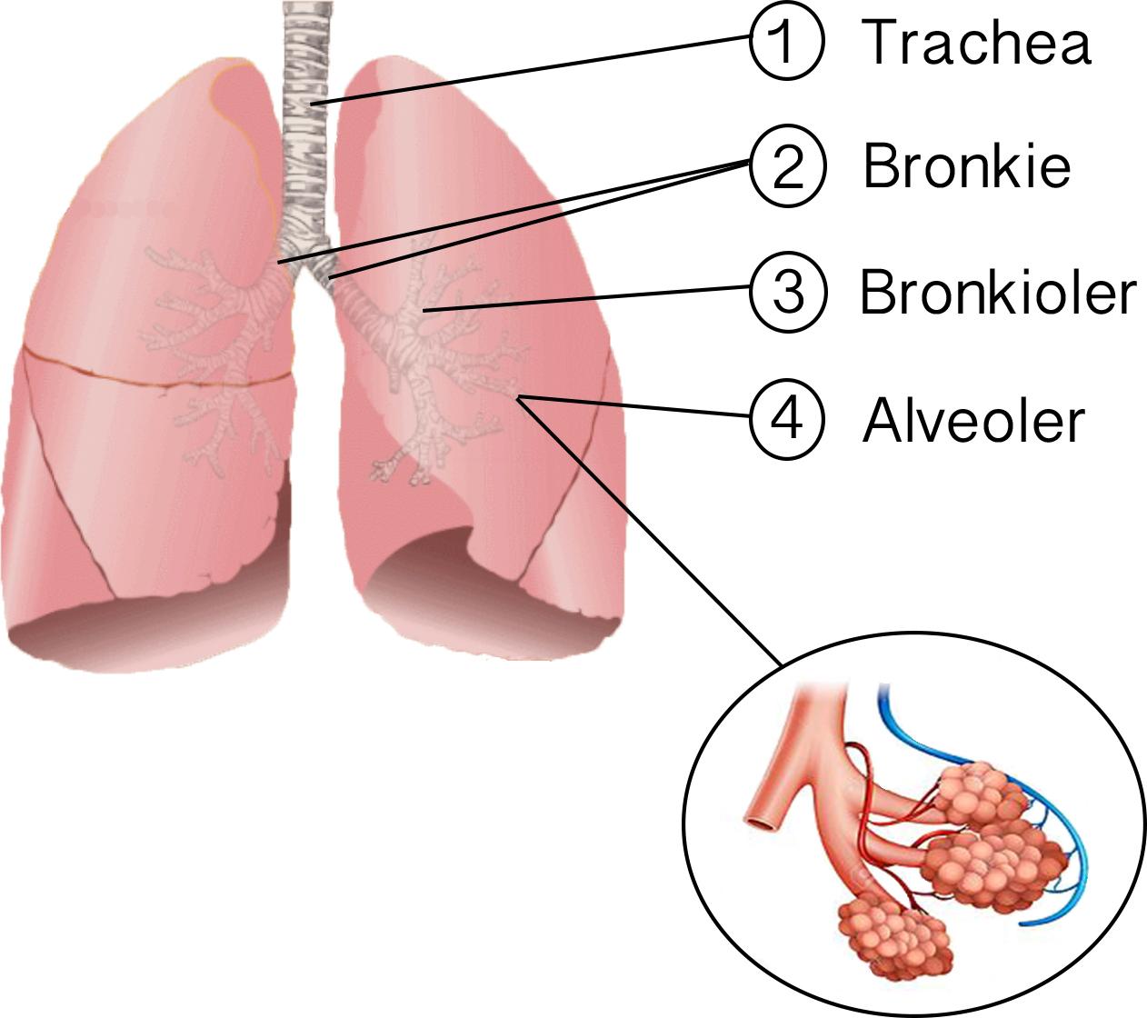 hvordan er lungerne opbygget