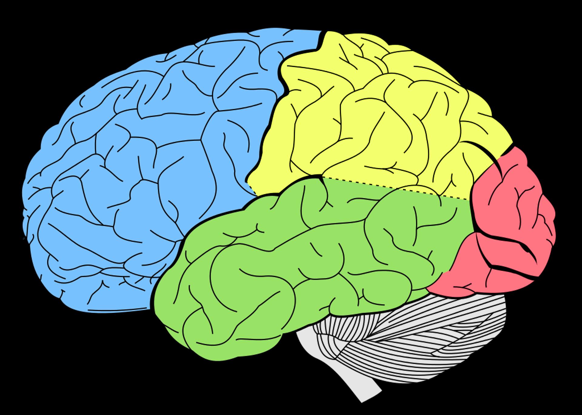 hvordan er hjernen opbygget
