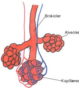 kapillaerer-alveoler-1-271x300-kopi