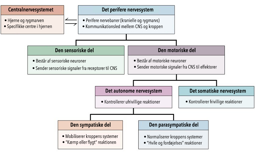 nervesystemet-opdeling-indskrevet